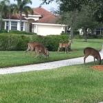 Wild deer @ TwinEagles